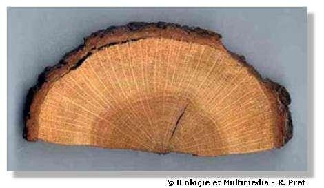 Figure 17 - Coupe transversale d'un tronc de chêne. On distingue le bois réparti en cercles concentriques, partagé par des files radiales plus claires et au tour, l'écorce.