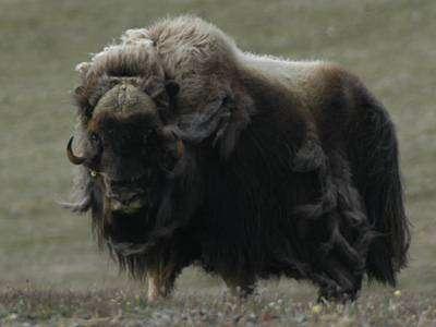 A l'instar de nombreux mammifères, le boeuf musqué, qui vit dans la toundra arctique du Canada, pourrait être rapidement menacé (Crédits : www.aventurearctique.com)