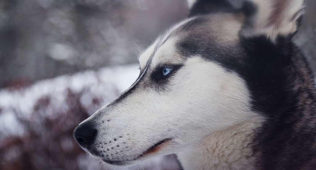 Les huskys sont originaires de Sibérie et appartiennent au groupe des chiens dits primitifs. Ce sont des races anciennes, très peu sélectionnées génétiquement par l'Homme, qui gardent une apparence et un caractère proches des premiers loups domestiqués. © Pexels, Pixabay