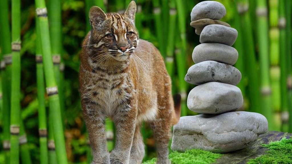 Le chat de Temminck