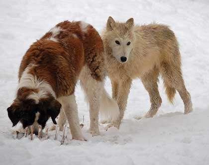 Ces chiens ne craignent pas la neige. © Wild Spirit Wold Sanctuary Wolves, Flickr, CC by-nc-sa 2.0