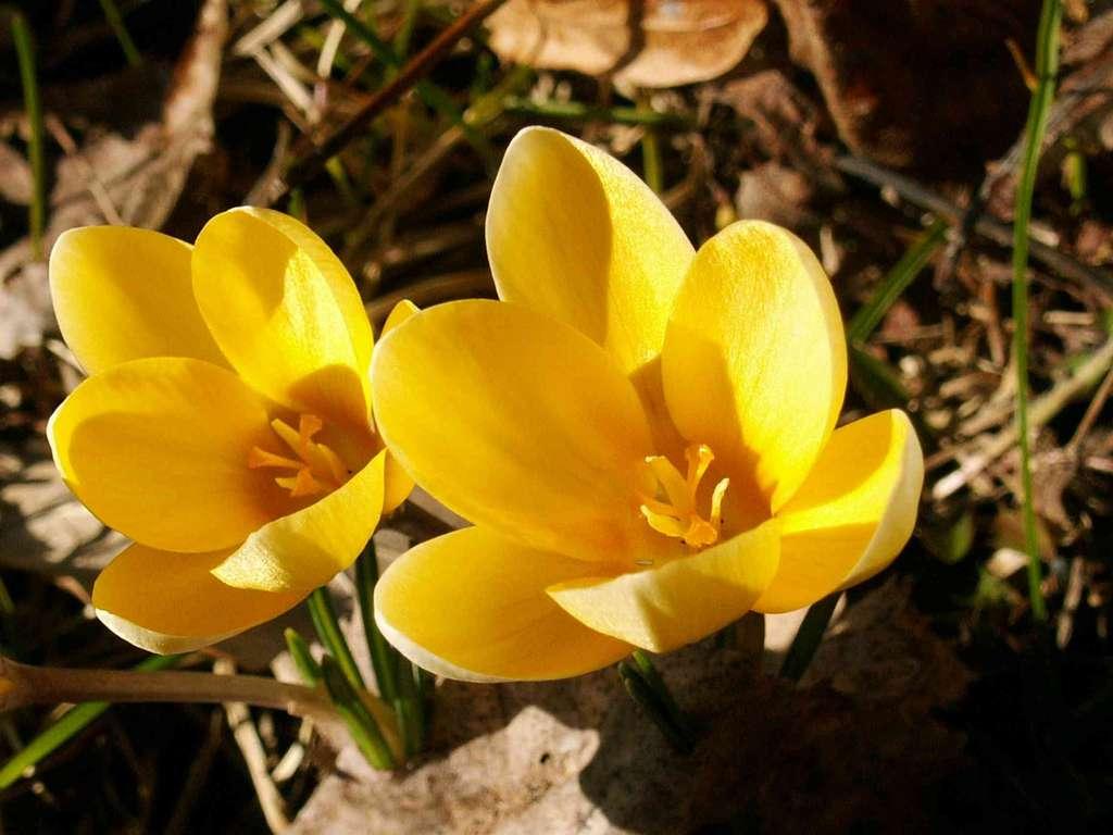 Crocus flavus - Crocus jaune