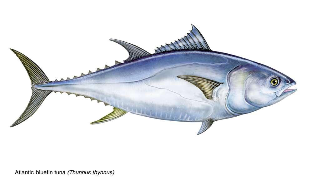 Le statut UICN du thon rouge de l'Atlantique (Thunnus thynnus) est passé de « En danger » à « Préoccupation mineure ». © marina, Adobe Stock