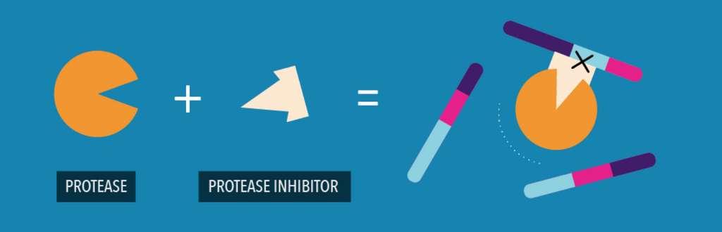 Mode schématisé de l'action d'un inhibiteur de protéase. Il empêche l'enzyme de couper les polyprotéines produites lors de la réplication du SARS-CoV-2. © Pfizer (extrait d'une infographie)