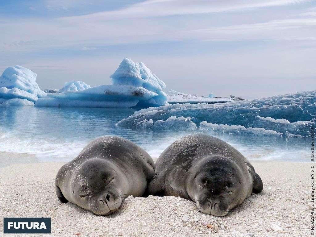 Bébés phoques sevrés à l'heure de la sieste