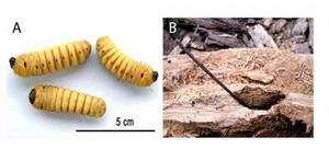En B, un pic à larves, imaginé, réalisé et utilisé par une corneille de Nouvelle-Calédonie.