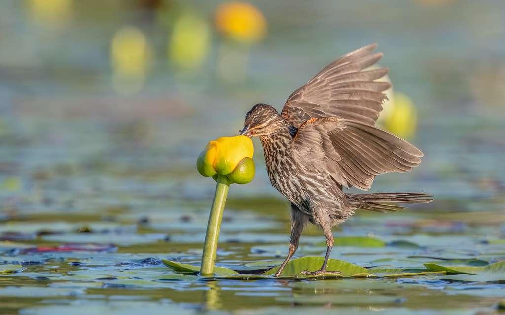 Carouge à épaulettes. © Shirley Donald, Audubon Photography Awards 2021
