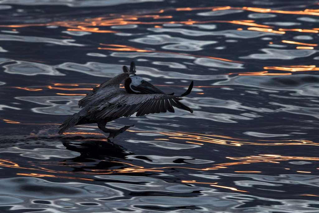 Un pélican brun à l'atterrissage sur une mer nappée des couleurs du coucher de soleil. © Maxime Aliaga, tous droits réservés