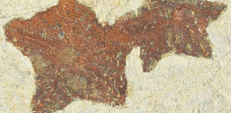 Cantabrigiaster, le plus ancien ancêtre connu de l'étoile de mer. © Aaron Hunter