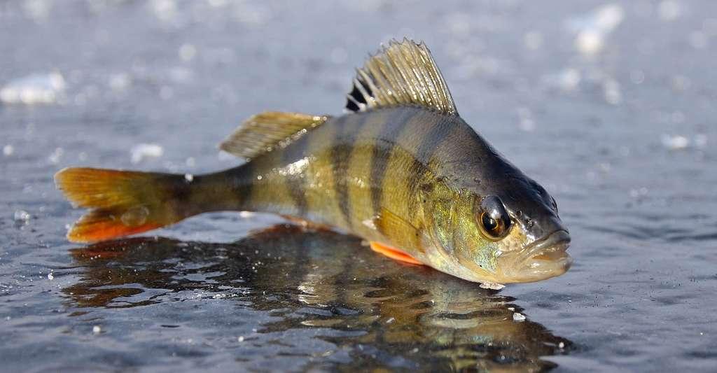 Comment fonctionne la nage des poissons ? Ici, jeune perche sur un lac gelé. © Aleks VF, Shutterstock