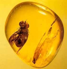 Diptère acalyptère, ambre de la Baltique (Eocène, 50 Ma) Reproduction et utilisation interdites