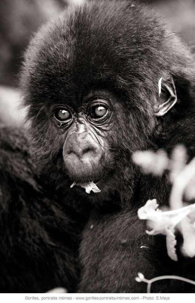 Jeune gorille en train de manger