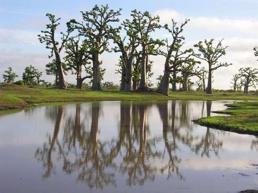 Baobab (Adansonia digitata) au début de la saison des pluies au Sénégal. © S. Garnaud - Reproduction et utilisation interdites