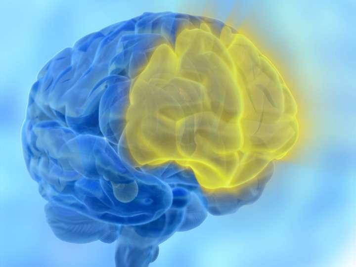 La fonction exécutive et la mémoire de travail mobilisent le cortex frontal (en jaune). © laura Dahl, Flickr, CC by-nc 2.0