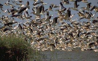 La grippe aviaire touche les populations d'oiseaux sauvages. © DR