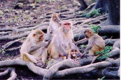 Des macaques rhésus femelles surveillant des petits. Ceux-là ne sont pas clonés… © Dario Maestripieri, University of Chicago