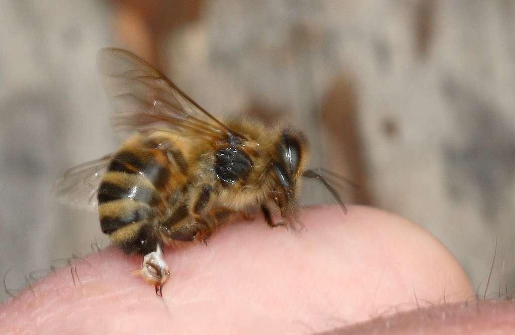 Dopo essere stata punto, l'ape lascia non solo il suo pungiglione, ma anche la sua ghiandola velenosa nella nostra pelle.  © Waugsgerb, Wikipedia, CC by-sa 3.0