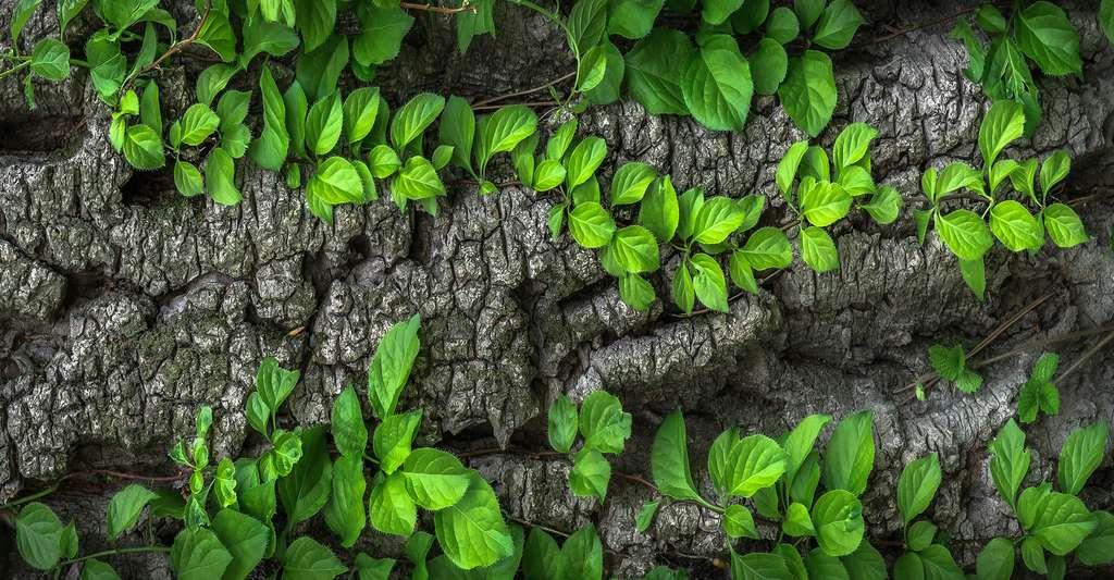 Lierres sur tronc d'arbre. © Jeonsango - Domaine public