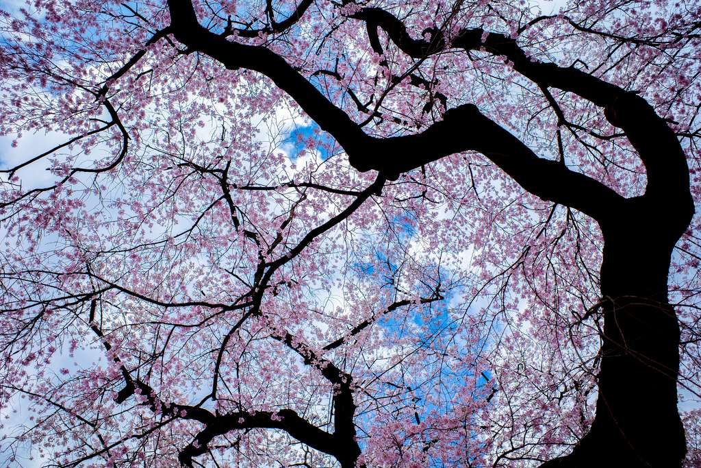 Le cerisier. © Kei Edam, Flickr