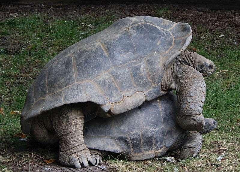 Accouplement de tortues géantes des Seychelles. © Szlias, Wikipédia, DP