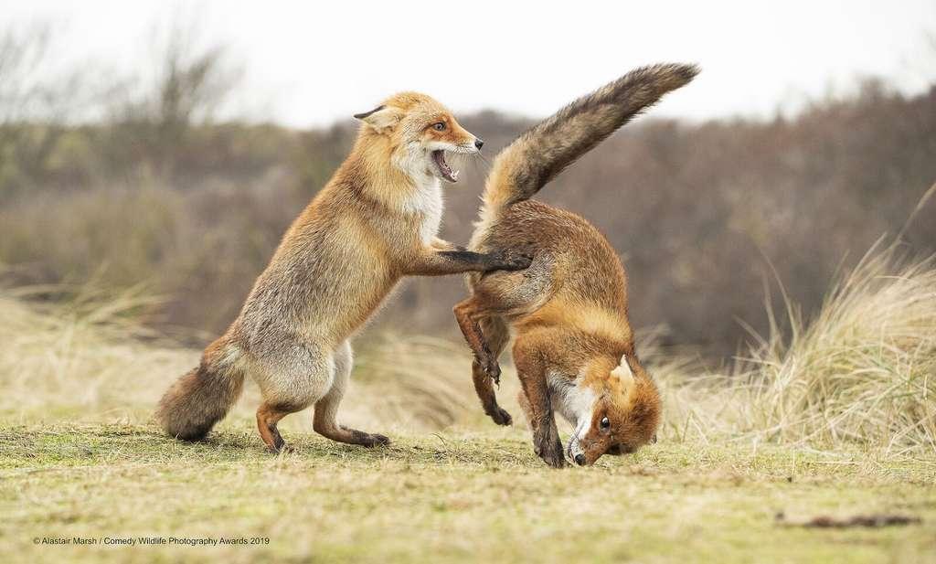 La parade nuptiale de ces deux renards roux vire à la catastrophe. © Alastair Marsh, Comedy Wildlife Photography Awards