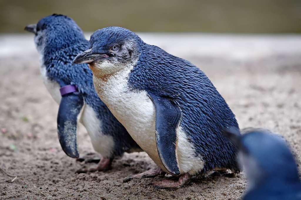 Le manchot pygmée est le plus petit manchot du monde. Sans son plumage bleuté, il pourrait presque être confondu avec un pingouin. © Fir0002, Wikipédia, GFDL