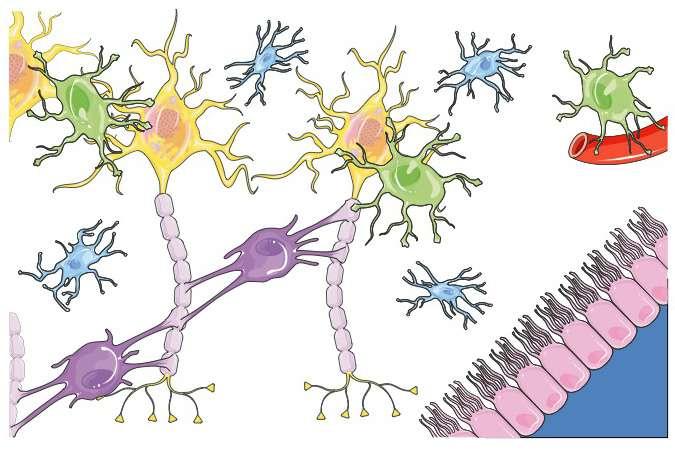 Schéma de l'organisation cellulaire du tissu nerveux. © Servier Medical Art