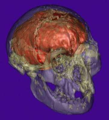 Photo de la reconstitution du cerveau de LB1 réalisée par Dean Falk et son équipe.
