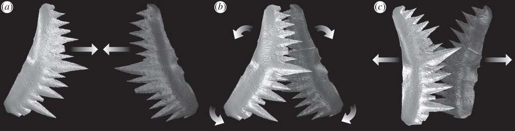 Cycle du fonctionnement du système de dents du conodonte Wurmiella excavata. Les deux structures similaires, face à face, se referment, ce qui permet de découper, et un mouvement de rotation partielle permet le broyage. © Jones et al. 2012, Proc. Roy. Soc. B