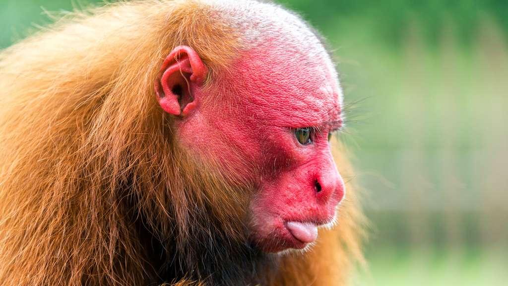 Le ouakari rouge ou chauve, au visage émacié
