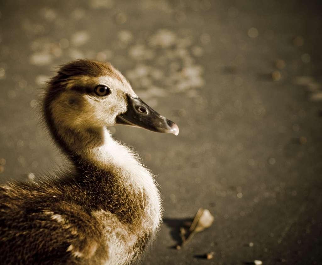 Vilain, ce petit canard ?