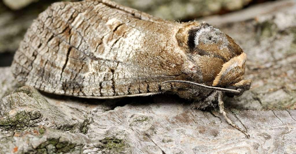 Cossus cossus. © D. Kucharski K. Kucharska, Shutterstock