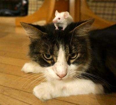 Le parasite Toxoplasma gondii pousse les souris à ne plus avoir peur des chats. Ce parasite s'en prend aussi à l'Homme, mais s'avère le plus souvent asymptomatique. Il se montre surtout dangereux pour les fœtus ou les personnes immunodéprimées. © Wendy Marie Ingram et Adrienne Greene
