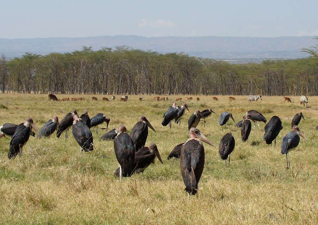 Marabouts d'Afrique près du lac Nakuru au Kenya. © Whifflepeg, CC by-nc 2.0