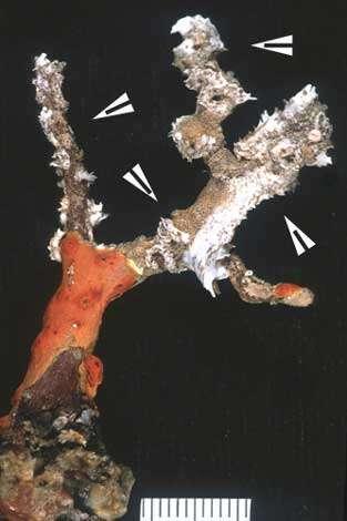 Figure 8a : petit corail blessé par les grosses chaleurs de 1999 ; les parties mortes (flèches) sont colonisées par d'autres organismes. © J.-G. Harmelin, tous droits réservés, reproduction et utilisation interdites