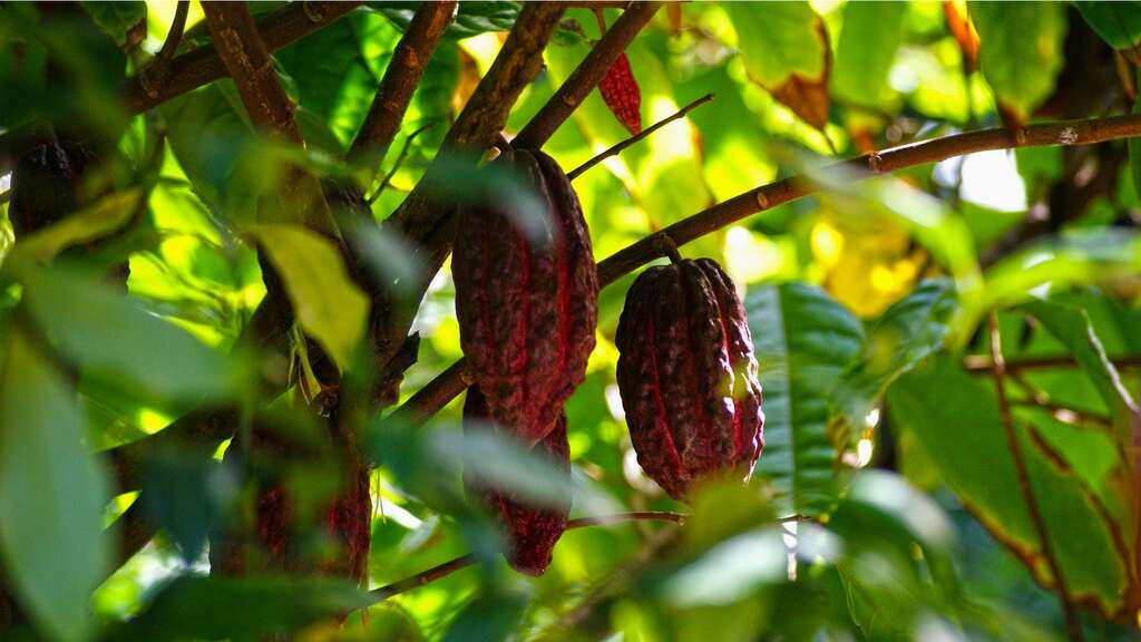 Cabosses de cacaoyer. © Hans - Domaine public