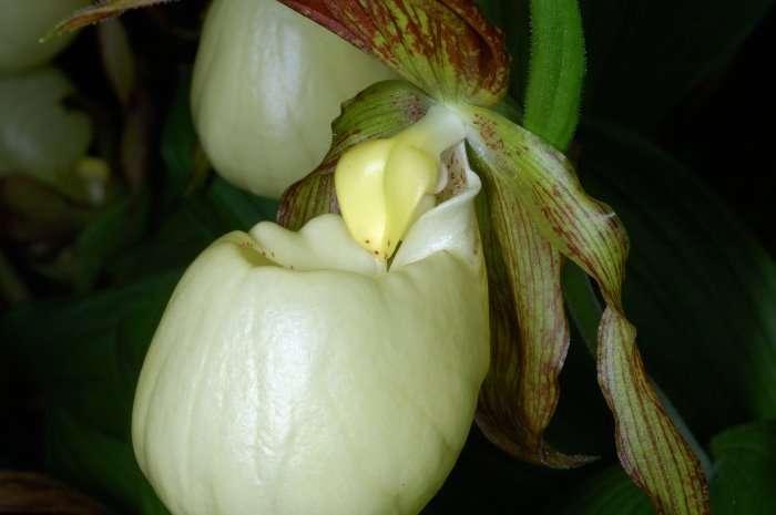 Orchidée Cypripedium