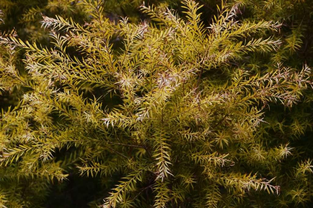 Attention à ne pas confondre le tea tree (Melaleuca alternifolia) et le théier, l'arbuste duquel on récolte les feuilles de thé. © tamu, Fotolia