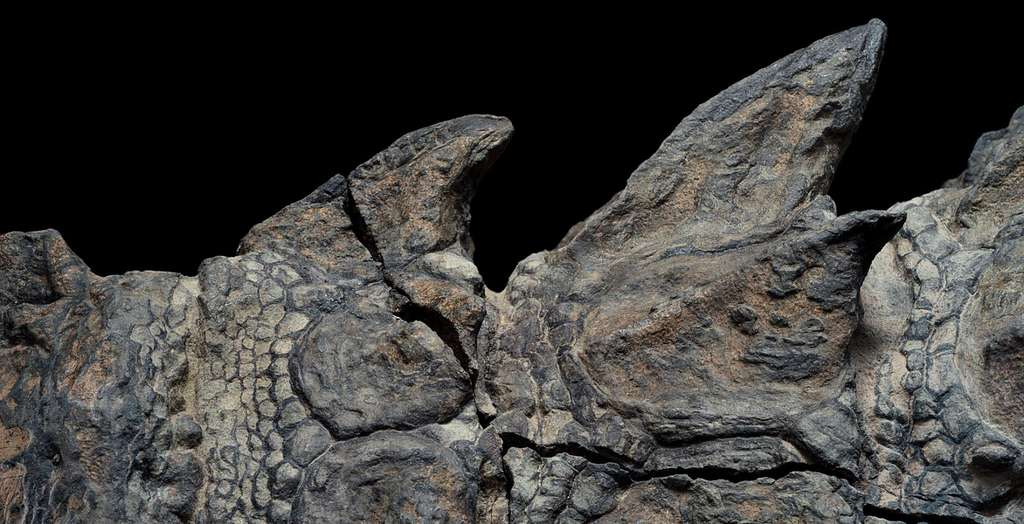L'armure du nodosaure vue de près. Les détails de la peau sont devenus un sujet d'études précieux. © Robert Clark, National Geographic, Royal Tyrrell Museum