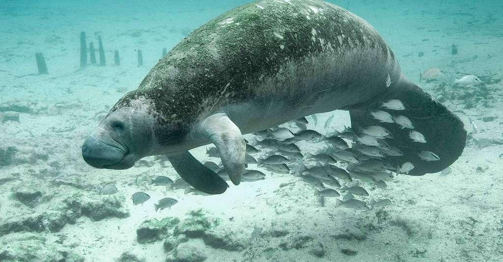 Le dugong est une espèce protégée. © PublicDomainImages, Pixabay, DP
