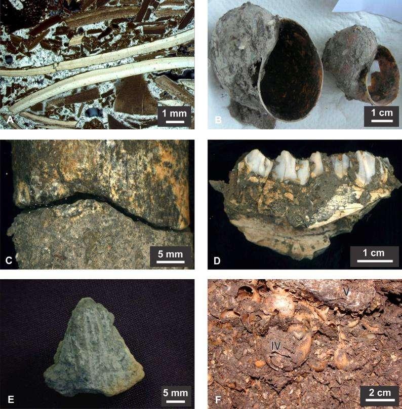 Détails de la terre cuite, des coquillages et des restes osseux provenant des fouilles. Image A : fragments de coquilles d'aragonite et micritique cimentées, un os est visible dans le coin supérieur gauche (lumière polarisée croisée). B : réservoirs Pomacea trouvé à 1,1 m de profondeur. C : cicatrice de l'impact entre fragments réaménagés du tibia d'un cerf des marais (Blastocerus dichotomus). Dendrites minérales couvrant les bords des os. Les dommages en surface indiquent une percussion. D : fragment mandibulaire de Mazama sp. trouvé à une profondeur de 70-75 cm. E : fragment de terre cuite portant des lignes parallèles incisées, probablement culturellement modifiés. F : couche de coquilles bien cimentées entourées de fragments détachés. © Public Library of Science