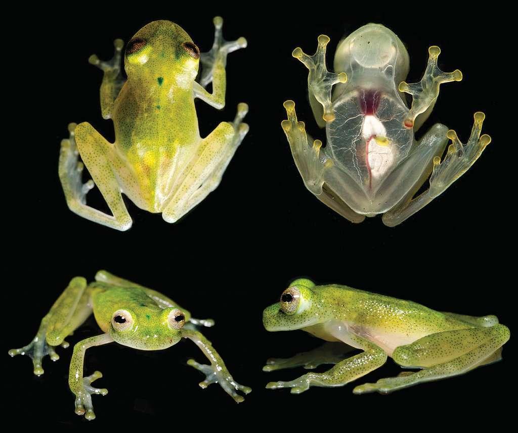 Cette espèce de grenouilles (Hyalinobatrachium yaku) découverte en 2017 a la peau si translucide que l'on peut voir ses organes. © L. A. Coloma, Zookeys