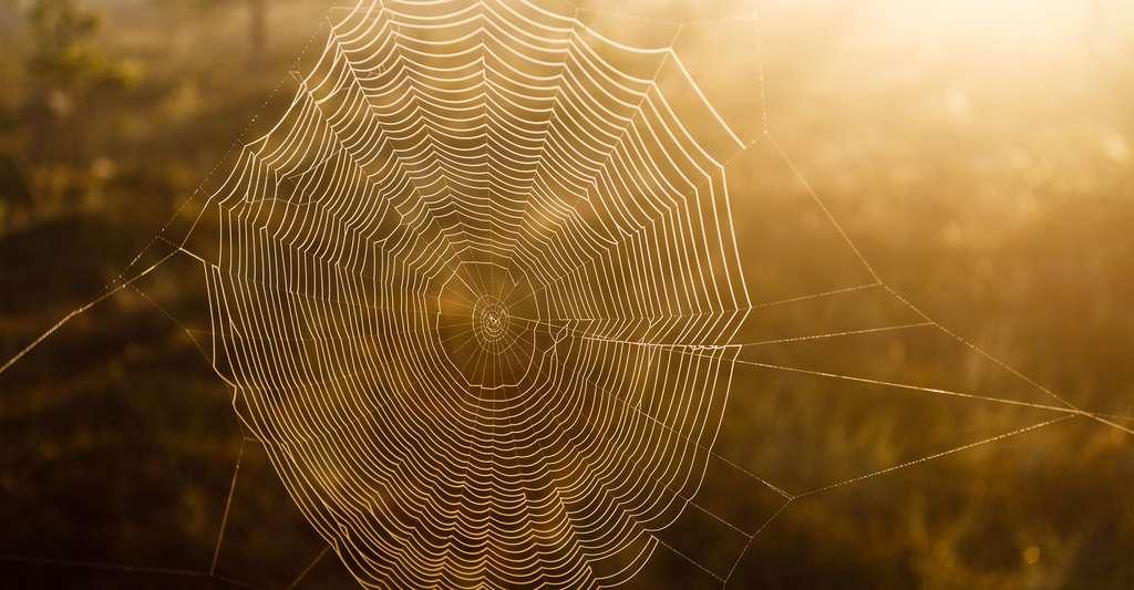 Certaines araignées peuvent produire jusqu'à sept types de fibres différentes. © Teemu Tretjakov, Shutterstock