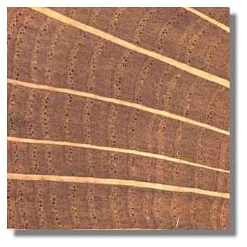 Figure 15. Coupe transversale de bois de chêne. © Photo R. Prat