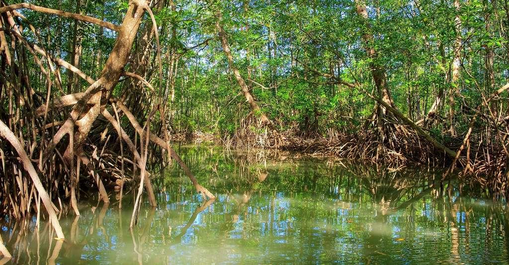 Mangrove. © Paul Atkinsons, Shutterstock