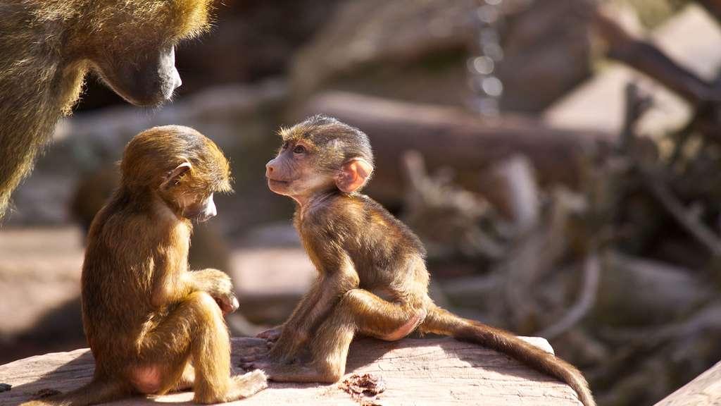 Des bébés babouins sous surveillance