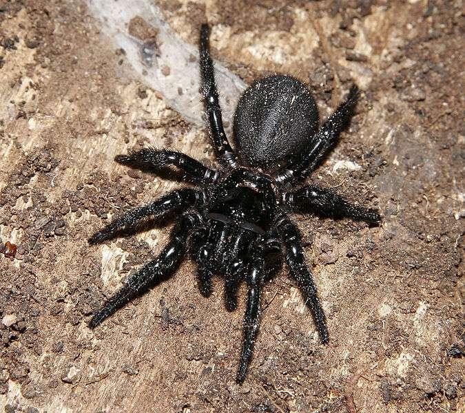 Mygale australienne. © fir0002, Wikipédia, GNU 1.2