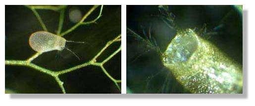 Figure 21. Un utricule. On observe des poils ramifiés. La taille de l'utricule est d'environ 1,5 mm. © Biologie et Mulitmedia