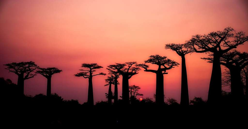 Le baobab, l'arbre pharmacien. © 12019, Pixabay, DP