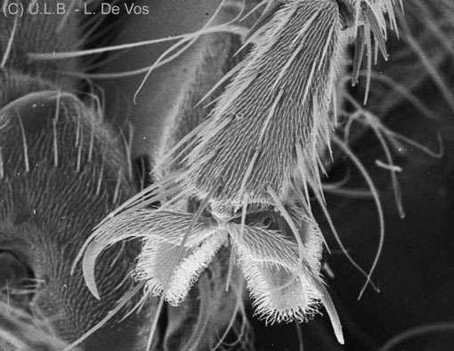 Mouche patte, extrémité, 1MEB © L.deVos Reproduction et utilisation interdites